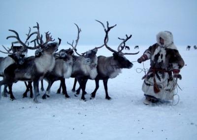 Nenets man leading reindeer to a sledge on the Yamal Peninsula