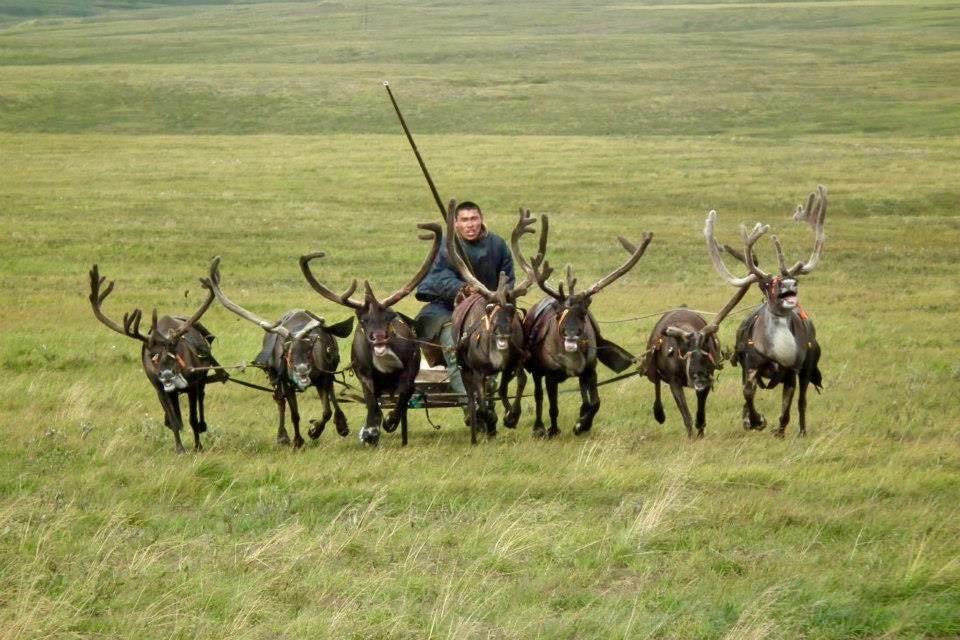 Reindeer sledges of the Nenets nomads